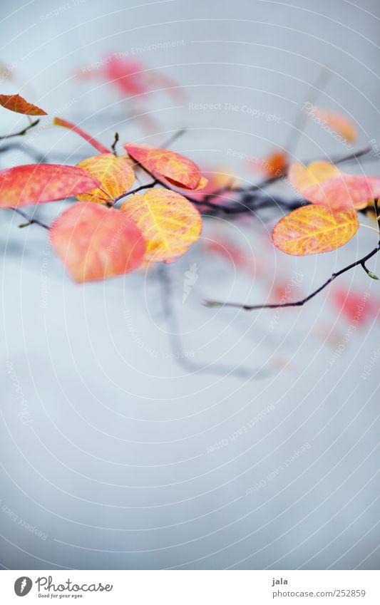 herbst Umwelt Natur Pflanze Herbst Blatt Wildpflanze Ast Zweige u. Äste ästhetisch elegant schön blau gelb rot Farbfoto Außenaufnahme Menschenleer