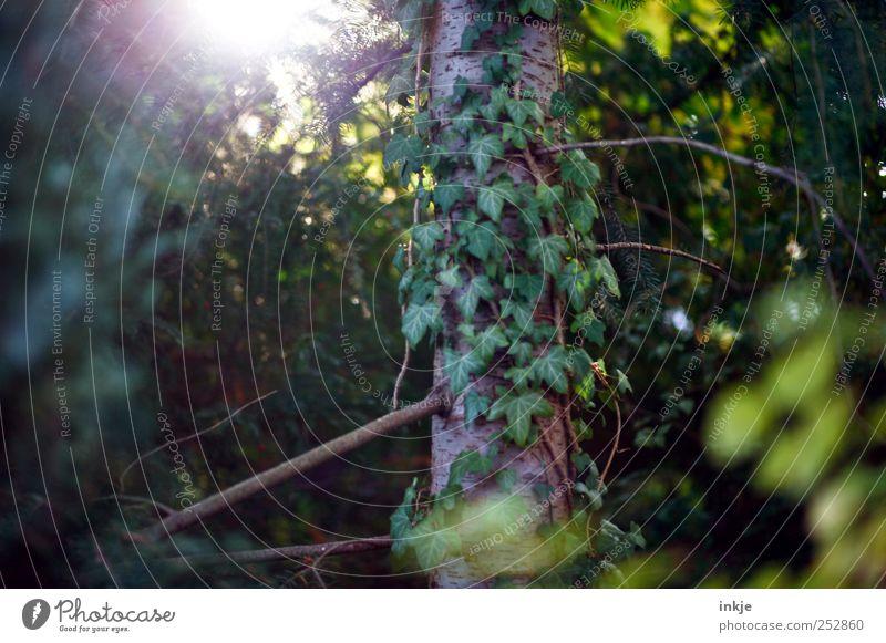 vergessene Orte Natur Pflanze Sonnenlicht Herbst Baum Sträucher Efeu Garten Park Wald Unterholz Wachstum alt dunkel natürlich trist wild grün Stimmung Idylle