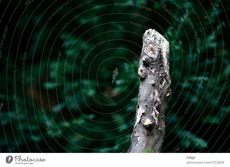 Nackt im Nadelwald Natur alt grün Baum Pflanze Wald Herbst Tod kalt dunkel Umwelt Garten Park natürlich kaputt trist