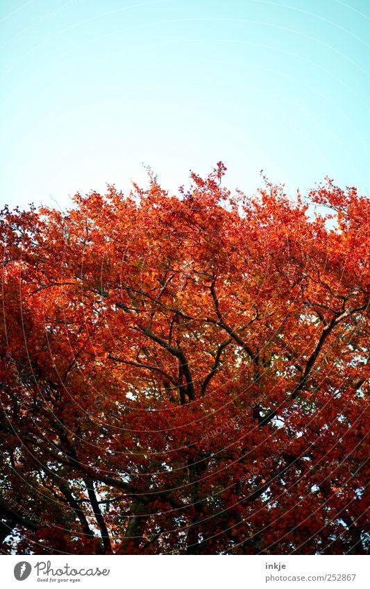 Rotbuche im Herbst Umwelt Natur Pflanze Himmel Schönes Wetter Baum Baumkrone Buche Garten Park stehen leuchten Wachstum groß hoch schön natürlich oben wild rot