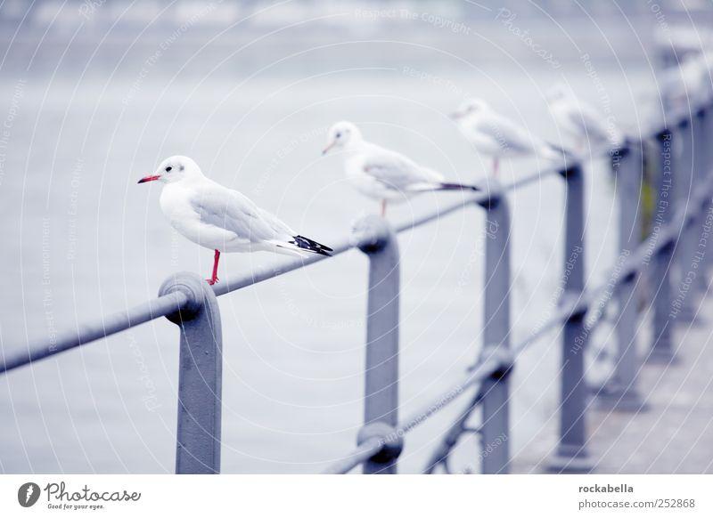 maf von der stange. Wasser Tier Vogel Tiergruppe Geländer Seeufer Reihe Möwe Schwarm Möwenvögel