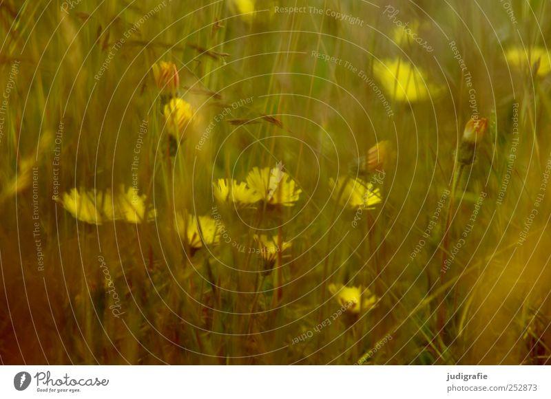 Wiese Natur Pflanze Sommer Blume gelb Umwelt Gras Garten natürlich Wachstum