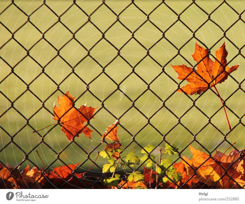 am Zaun... Umwelt Natur Pflanze Herbst Schönes Wetter Blatt Grünpflanze Ahornblatt Park Maschendraht Metall alt leuchten dehydrieren Wachstum ästhetisch