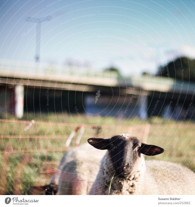 lucky luke Natur Tier Wildtier Brücke Tiergesicht Weide Laterne Stadtleben Zaun dumm Schaf Fressen füttern Herde erschrecken Perspektive