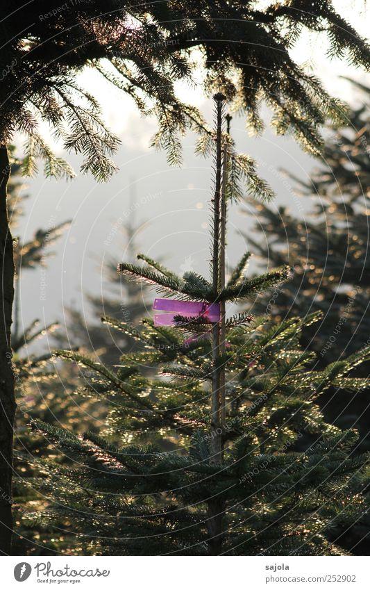 weihnachtsbaumzucht Umwelt Natur Pflanze Baum Tanne Vorfreude Weihnachtsbaum beschriften kennzeichnen Farbfoto Außenaufnahme Menschenleer Abend Dämmerung