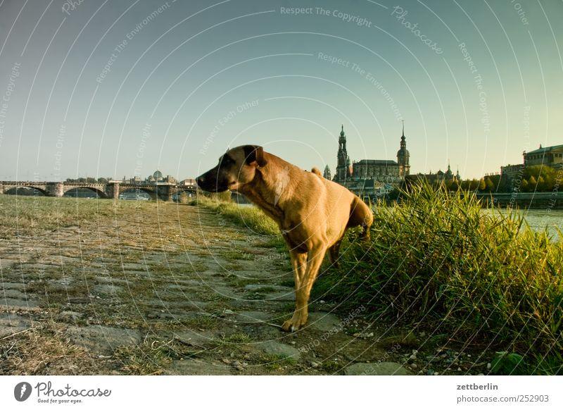 Weltkulturerbe Stadt Hund Tier Haus Gebäude Platz verrückt Brücke Kirche Sauberkeit Bauwerk Dresden Skyline Burg oder Schloss Wahrzeichen Flussufer