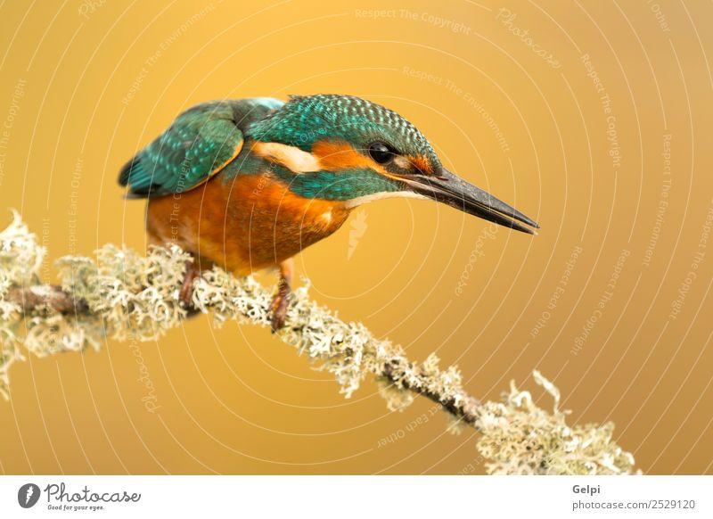 Der gemeine Eisvogel exotisch Natur Tier Fluss Vogel beobachten hell wild blau weiß Eisvögel in diesem Fall alcedo Tierwelt allgemein Schnabel Ornithologie