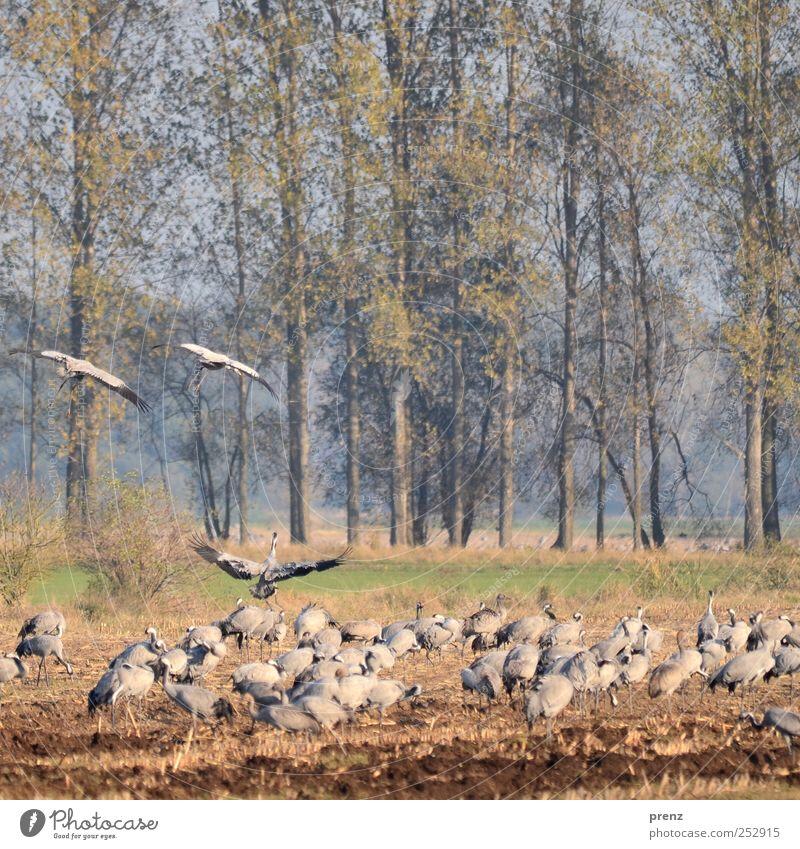 Herbst in Linum blau Baum Tier grau braun Feld Vogel fliegen Flügel viele Schwarm Brandenburg Kranich Pappeln