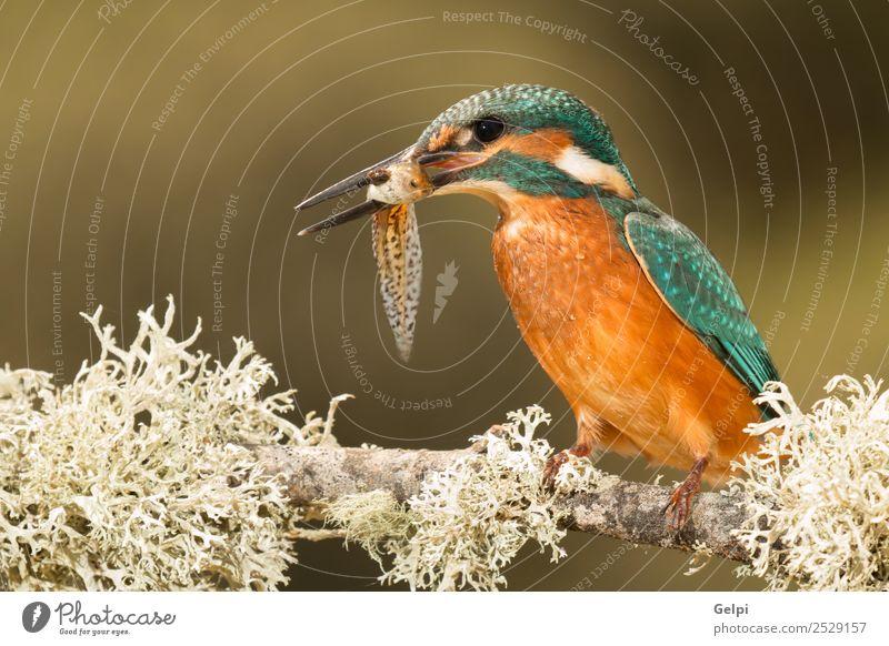 Farbige Eisvogel Vogelputzmittel auf einem Ast exotisch Natur Tier Fluss beobachten hell wild blau türkis weiß Eisvögel in diesem Fall Tierwelt allgemein