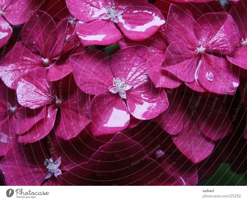 Nach dem Regen Natur Wasser Blume Pflanze Blüte rosa Wassertropfen