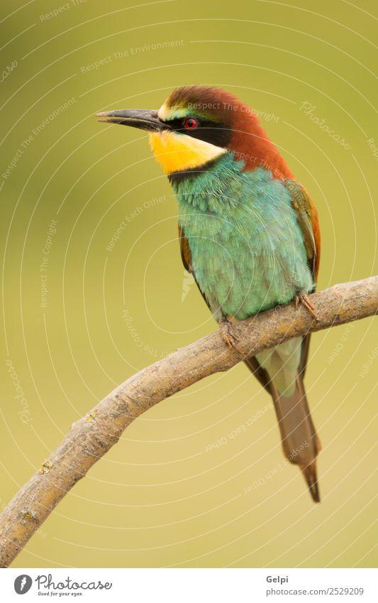 Kleiner Vogel, der auf einem Ast mit schönem Gefieder steht. exotisch Freiheit Natur Tier Biene glänzend füttern hell wild blau gelb grün rot weiß Farbe