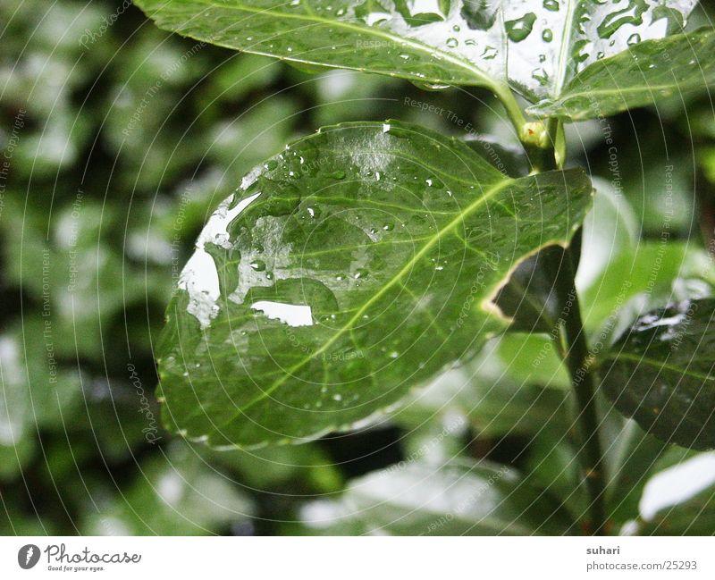 Nach dem Regen Natur grün Blatt Wassertropfen Sträucher