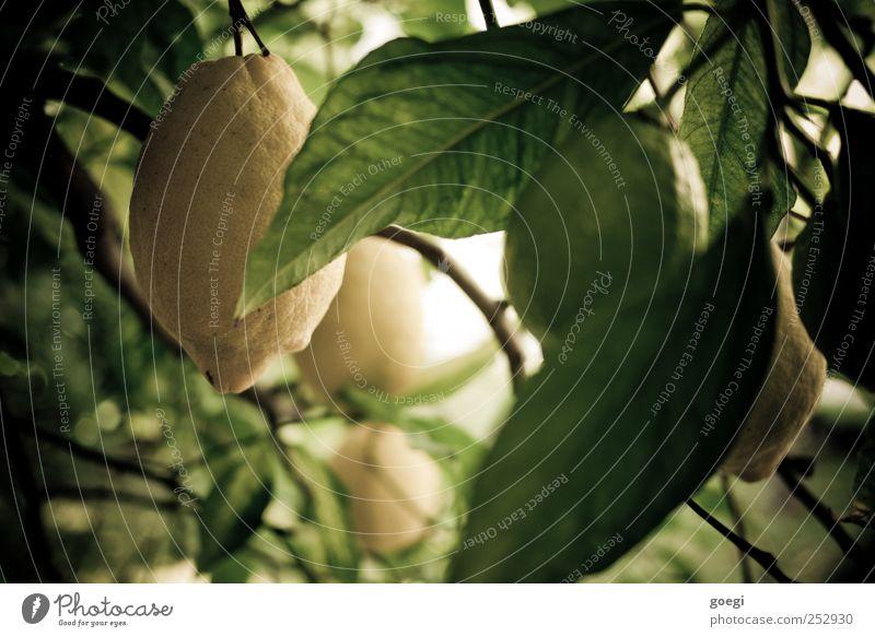 sauer I Lebensmittel Frucht Zitrone Zitrusfrüchte Natur Pflanze Sommer Grünpflanze Nutzpflanze exotisch Zitronenbaum gelb grün Zitronenschale zitronengelb