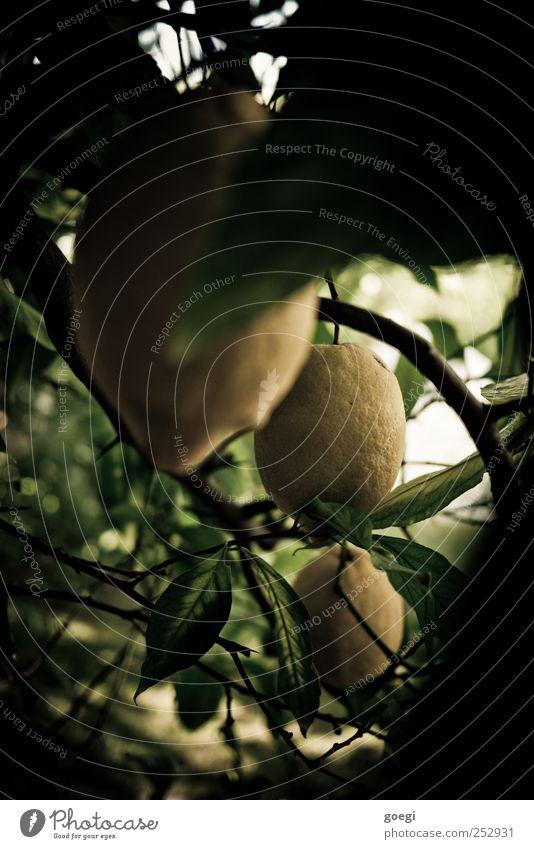 sauer II Lebensmittel Frucht Zitrone Zitrusfrüchte Natur Pflanze Sommer Baum Grünpflanze Nutzpflanze exotisch Zitronenbaum gelb grün Zitronenschale zitronengelb