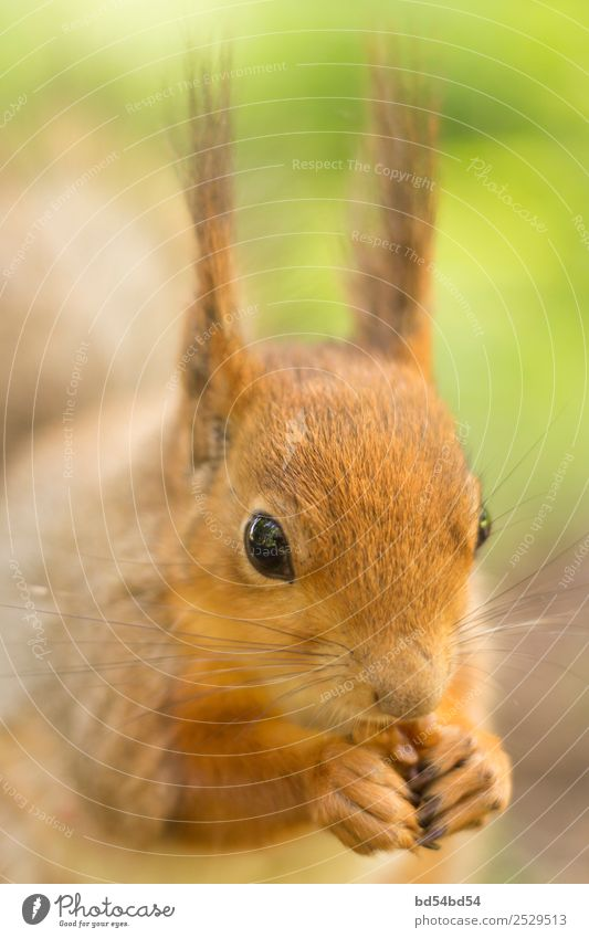 Das rote Eichhörnchen frisst eine Nuss. Eichhörnchen im Sommer auf der Straße. Schönes Tier im Park. Eichhörnchen Porträt. Natur Säugetier Nagetiere niedlich