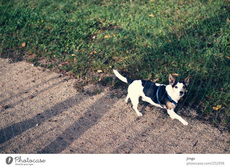 The dog Erde Gras Haustier Hund 1 Tier gehen gelb grün schwarz weiß Schatten Farbfoto Außenaufnahme Textfreiraum links Textfreiraum oben Morgen Licht