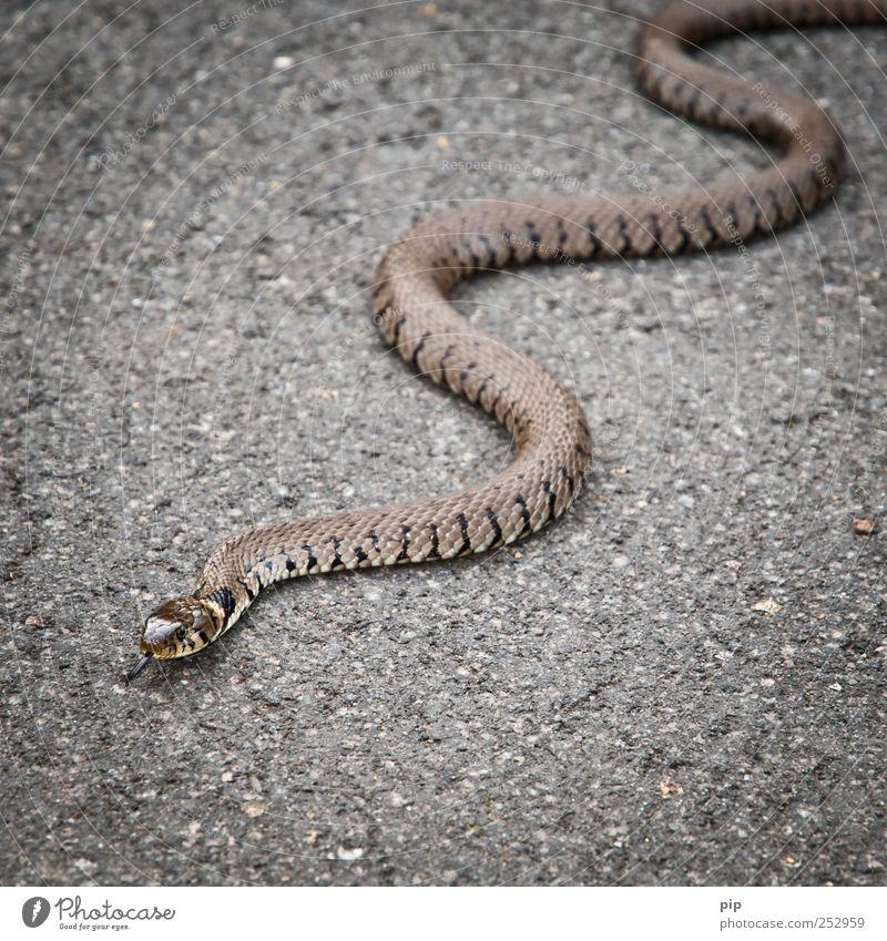 auf deinem bauch sollst du kriechen Straße Asphalt Wildtier Schlange Schuppen Natter Ringelnatter 1 Tier Angst Todesangst gefährlich krabbeln Zunge Windung