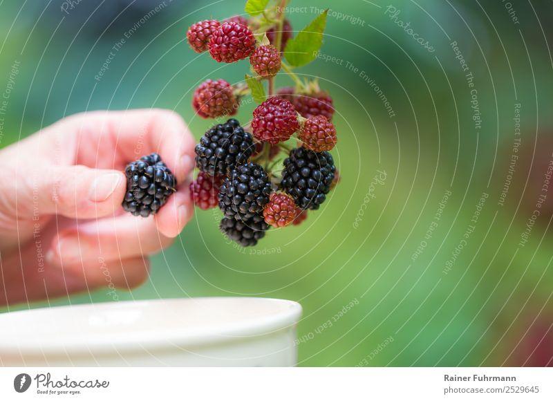 """eine Frau pflückt Brombeeren Mensch Hand 1 Natur Pflanze Schönes Wetter Nutzpflanze Garten Feld Arbeit & Erwerbstätigkeit lecker """"ernten Beeren Ernte reif"""""""