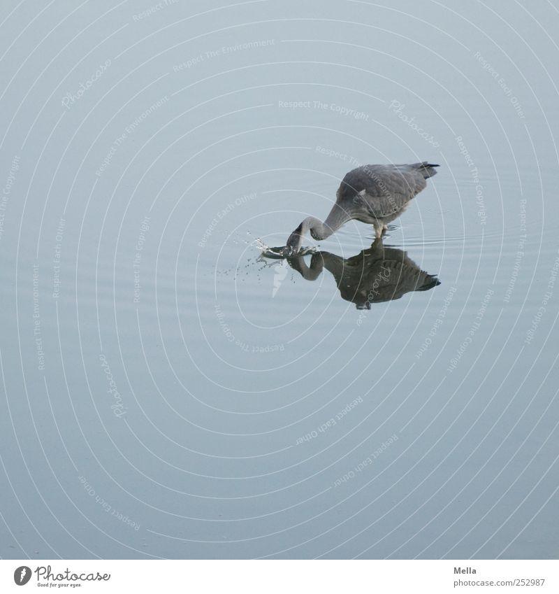 Platsch! Umwelt Natur Tier Wasser Teich See Vogel Reiher Graureiher 1 Fressen Jagd lustig natürlich blau tauchen fischen fangen spritzen Farbfoto Außenaufnahme