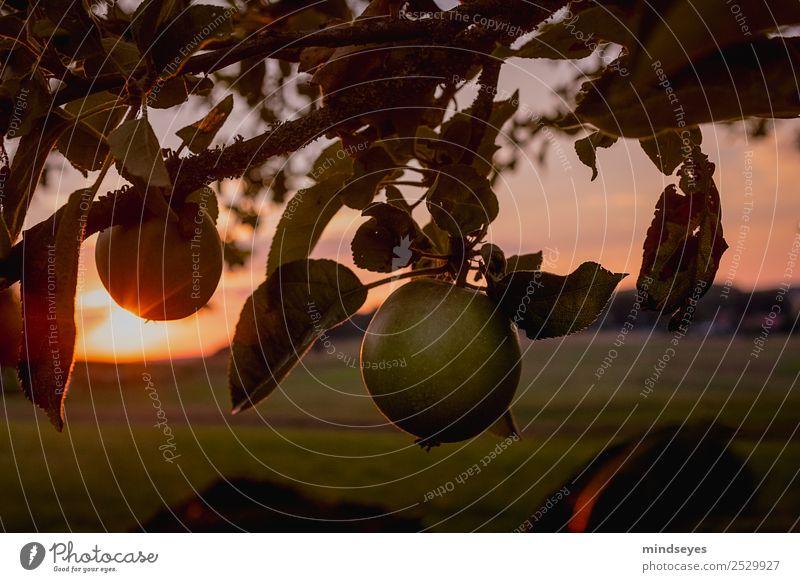 Apfel am Baum in der Abenddämmerung Ferien & Urlaub & Reisen Ausflug Freiheit Natur Landschaft Pflanze Sonnenaufgang Sonnenuntergang Sonnenlicht Sommer Blatt