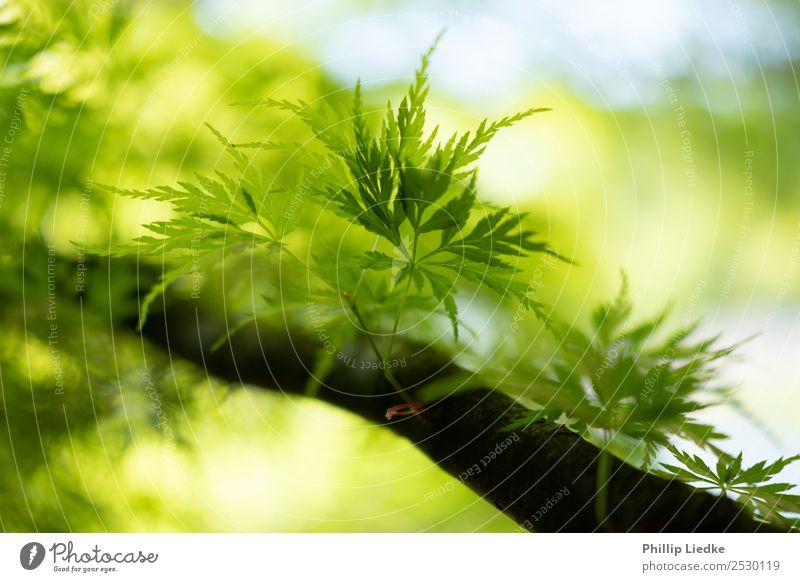 Young leafs of Japanese Maple growing Natur Sommer Pflanze schön grün weiß Baum Erholung Blatt ruhig schwarz Wärme Leben Gesundheit gelb Hintergrundbild