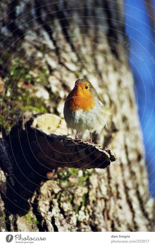rotkehlchen Natur Schönes Wetter Baum Baumstamm Tier Wildtier Vogel Rotkehlchen 1 klein nah Neugier analog Farbfoto Außenaufnahme Nahaufnahme Tag Schatten
