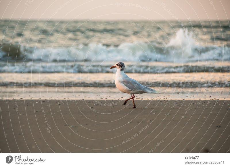 Strandspaziergang Natur Sand Luft Wasser Sommer Wellen Küste Meer Tier Vogel Möwe Silbermöwe 1 gehen maritim braun Einsamkeit Ferien & Urlaub & Reisen