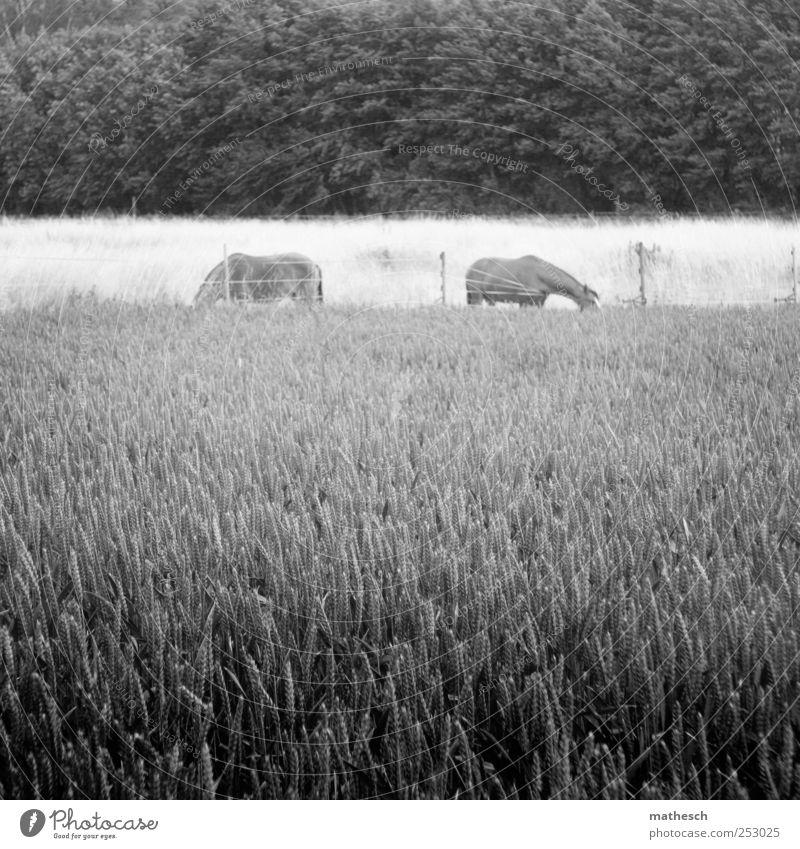 . Natur weiß Sommer Tier ruhig schwarz Wald Umwelt Zufriedenheit Feld Pferd Landwirtschaft Bauernhof Getreide Gelassenheit Zaun