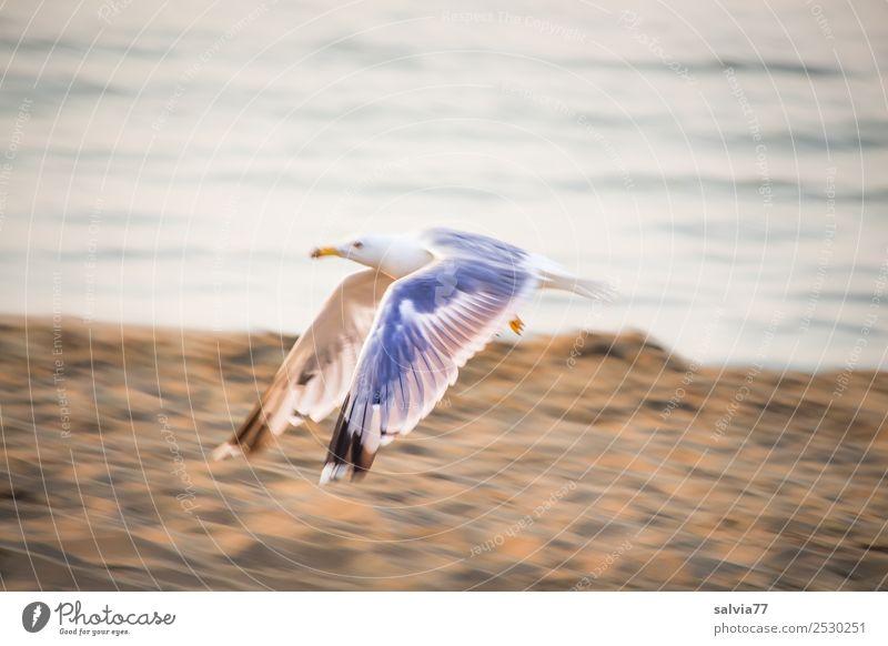 Möwenflug Natur Erde Wasser Küste Seeufer Strand Tier Wildtier Vogel Silbermöwe 1 maritim braun grau Bewegung Geschwindigkeit fliegen Freiheit Flügel Farbfoto