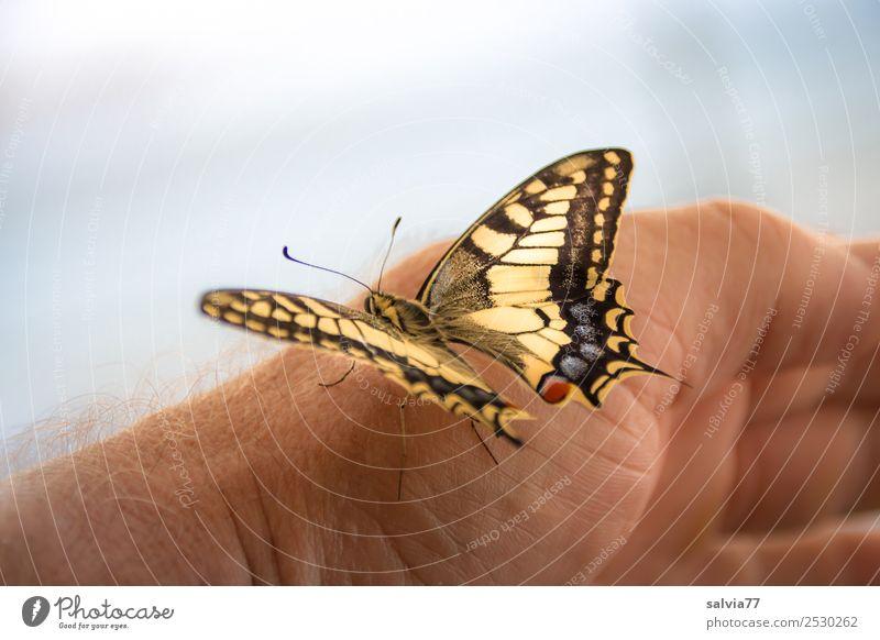 gleich hebt er ab! Hand Natur Tier Wildtier Schmetterling Flügel Insekt Schwalbenschwanz 1 berühren ästhetisch schön Vertrauen Tierliebe Leichtigkeit Farbfoto