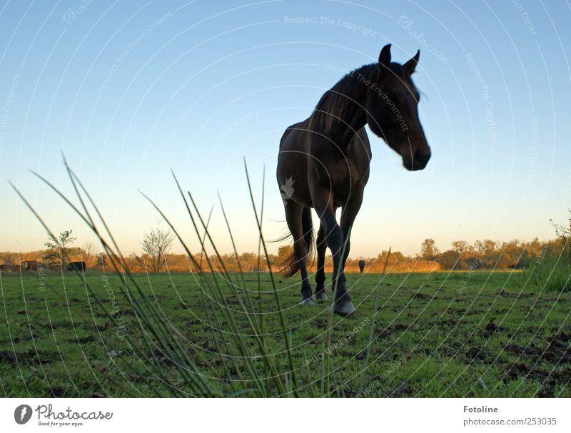 ankommen Himmel Natur Pflanze Tier Wiese Herbst Umwelt Gras Erde groß natürlich Pferd Urelemente nah Fell Wolkenloser Himmel