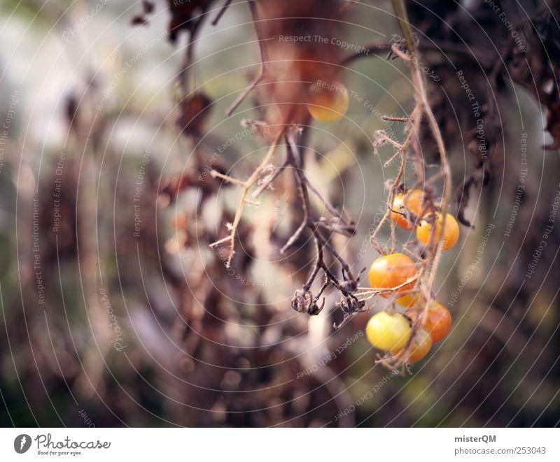 Tomatengold. ruhig Umwelt Herbst Tod Garten Wachstum ästhetisch Vergänglichkeit Jahreszeiten Ernte Tomate vergessen unheimlich Saison Erntedankfest Gewächshaus