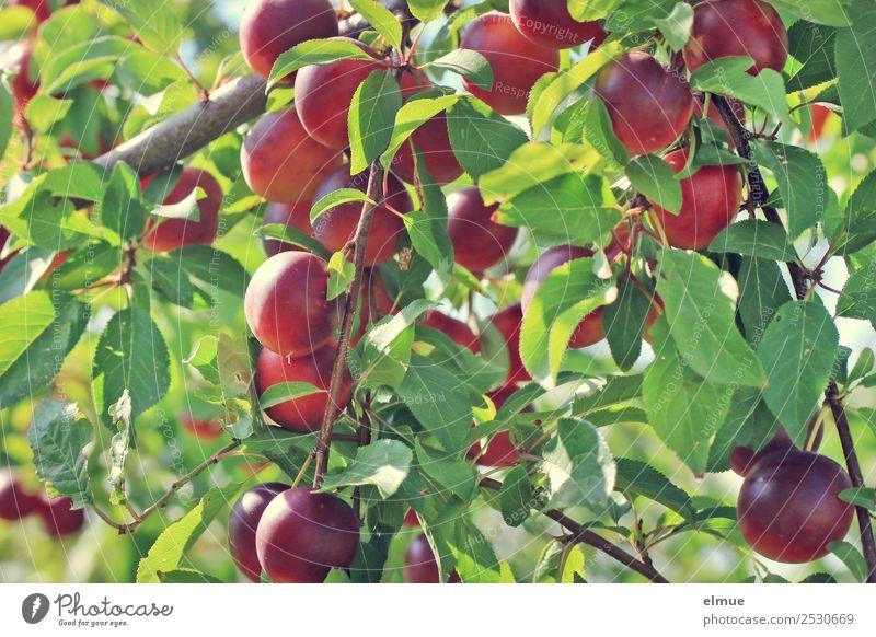 Mirabellen VI Lebensmittel Frucht Marmelade Bioprodukte Vegetarische Ernährung Natur Sommer Herbst Schönes Wetter Baum Blatt Pflaume Kirschpflaume Obstbaum