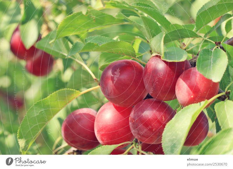 Mirabellen VII Lebensmittel Frucht Bioprodukte Vegetarische Ernährung ökologisch Vegane Ernährung Natur Pflanze Sommer Herbst Schönes Wetter Baum Blatt Pflaume