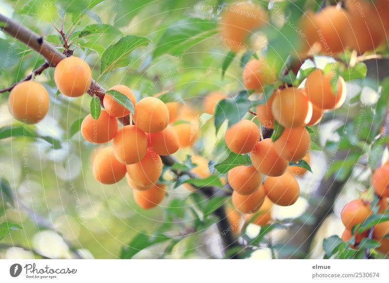 Mirabellen III Lebensmittel Frucht Bioprodukte Vegetarische Ernährung Natur Sommer Herbst Schönes Wetter Baum Blatt Garten hängen Gesundheit saftig genießen