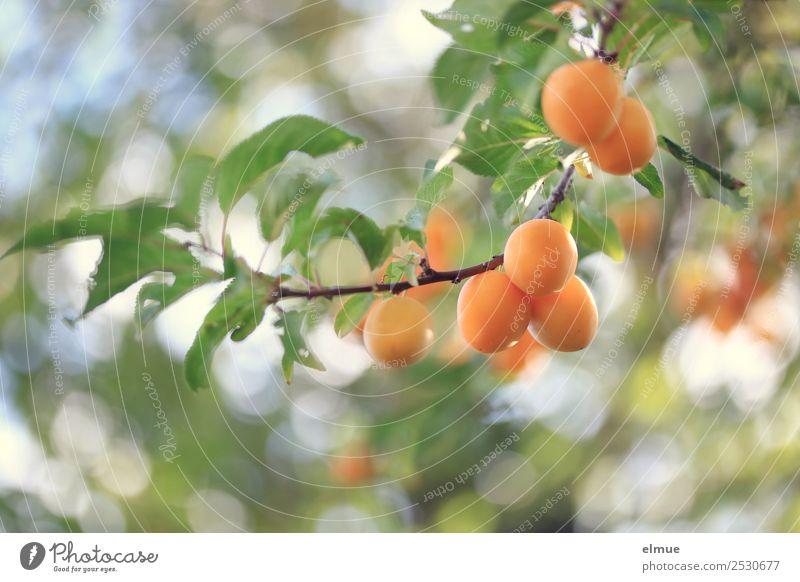 Mirabellen I Lebensmittel Frucht Sommer Herbst Baum Blatt Garten hängen klein saftig orange Ernte Erntedankfest Pflaume reif Obstbaum fruchtig Vegane Ernährung