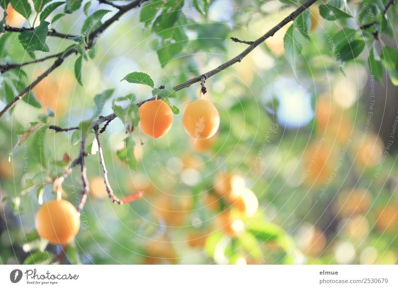 Mirabellen IV Lebensmittel Frucht Marmelade Bioprodukte Vegetarische Ernährung Natur Pflanze Sommer Herbst Schönes Wetter Baum Blatt hängen klein gelb