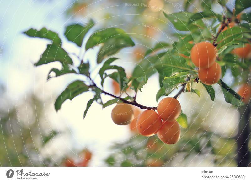 Mirabellen II Lebensmittel Frucht Marmelade Sommer Herbst Schönes Wetter Baum Blatt hängen klein orange genießen Pflaume fruchtig Ernte Obstbaum Zweige u. Äste
