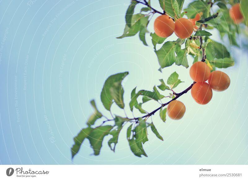 Mirabellen V Lebensmittel Frucht Marmelade Kirschpflaume Pflaume Obstbaum Ernährung Bioprodukte Pflanze Himmel Sommer Herbst Schönes Wetter Blatt Garten hängen
