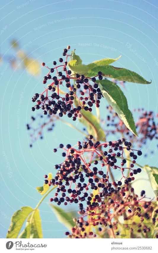 Holunder Lebensmittel Frucht Bioprodukte Vegetarische Ernährung Natur Pflanze Sommer Herbst Schönes Wetter Wildpflanze Holunderbusch Holunderbeeren Holder
