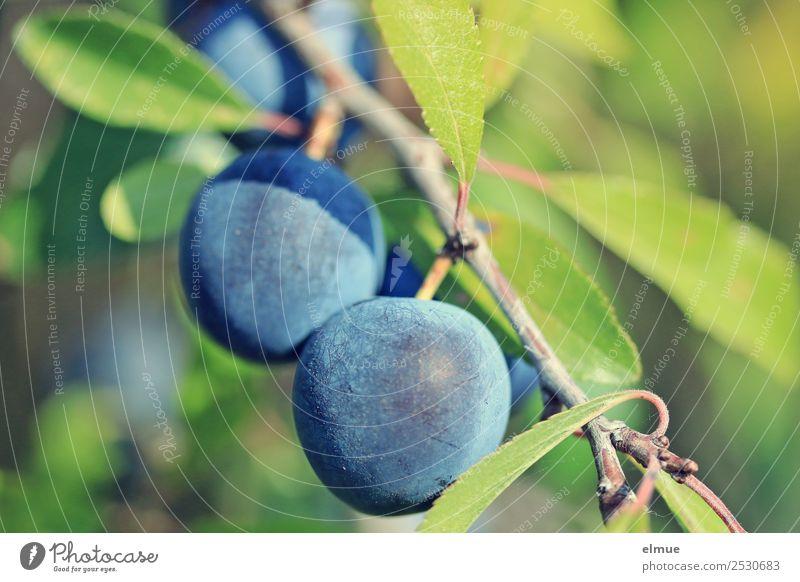 Schlehen Frucht Marmelade Likör Obstwein Nahrungsquelle Bioprodukte vitaminreich Natur Pflanze Sommer Herbst Schönes Wetter Baum Sträucher Wildpflanze