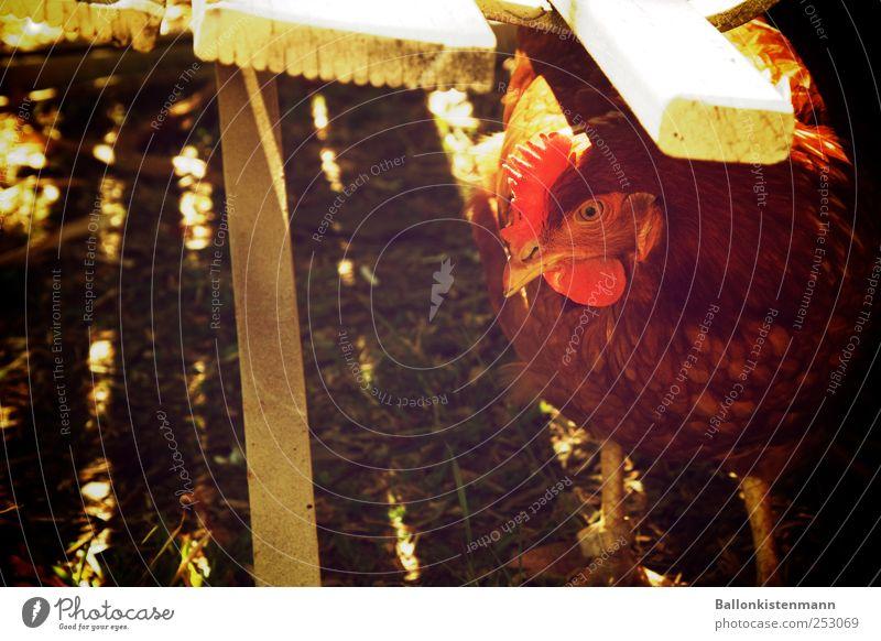 Lieber nen Huhn unter der Bank... Garten Haustier Nutztier Haushuhn retro grün rot weiß Wachsamkeit Schüchternheit Bauernhof Hühnerstall zurückhalten