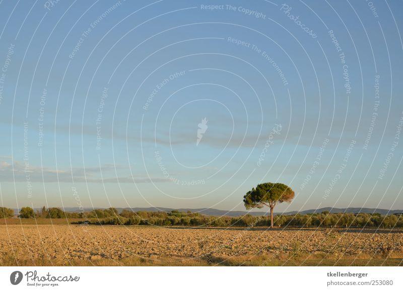 Einzelgänger Natur Erde Himmel Wolken Herbst Baum blau braun Pinie Ackerbau Feld Ackerboden Italien Toskana Maremma einzeln Ocker Gras einzelgänger Abholzung