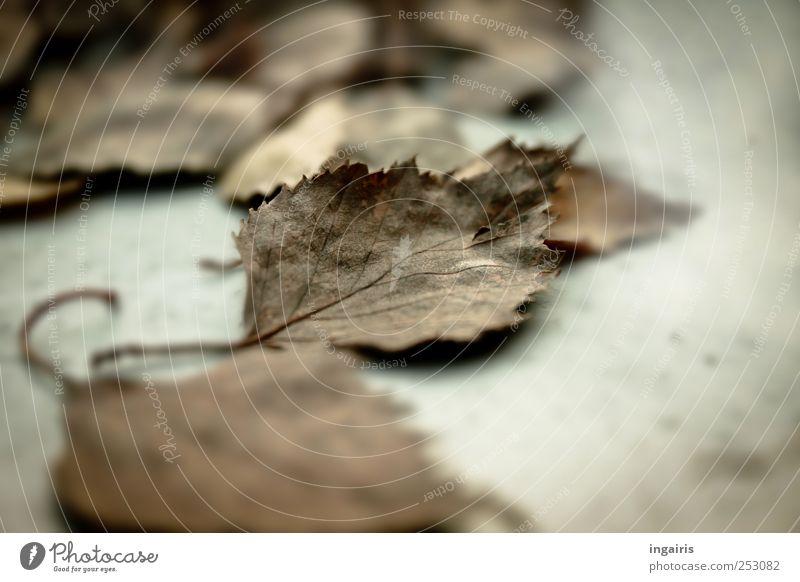 Nochmal Herbst Natur Pflanze Blatt grau Stimmung braun Vergänglichkeit trocken Herbstlaub welk herbstlich dehydrieren Herbstfärbung Birkenblätter