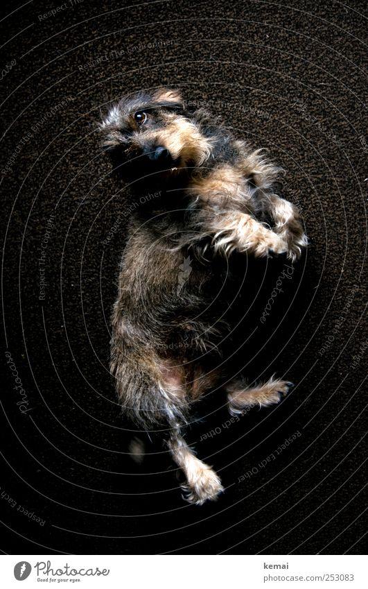 Streichel mich Flur Tier Haustier Hund Tiergesicht Fell Pfote Dackel Rauhaardackel 1 Teppich liegen Blick niedlich braun Wunsch betteln Hundeblick Farbfoto