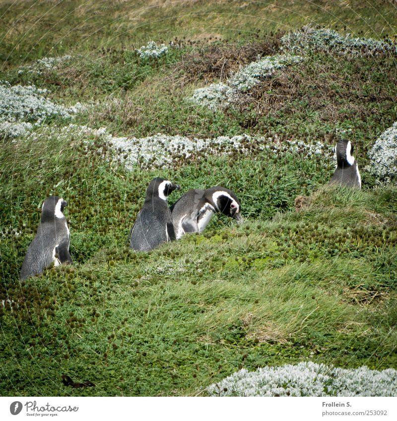 Sonntagsspaziergang grün Sommer Tier grau lustig Zusammensein gehen Wildtier silber Aktion Patagonien
