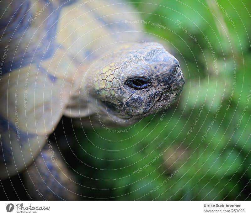 Kopf heben Tier Sommer Gras Wiese Haustier Wildtier Tiergesicht Schuppen Schildkröte Griechische Landschildkröte Reptil Schildkrötenpanzer Panzer 1 beobachten