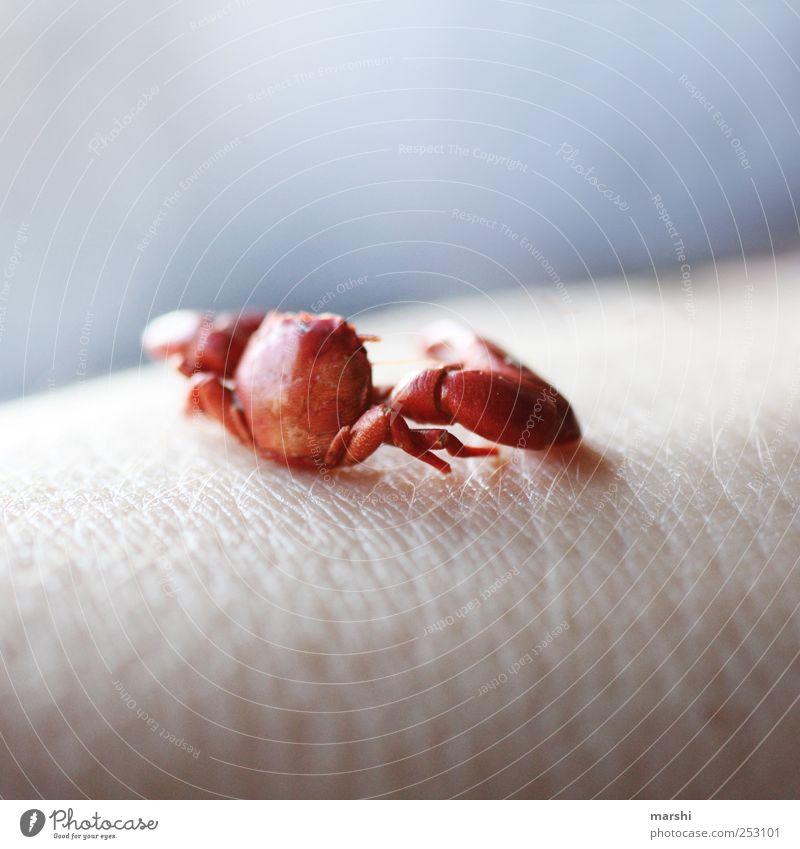 Hautkrebs schön rot Tier klein Tierhaut Schere Panzer Krebs Waffe