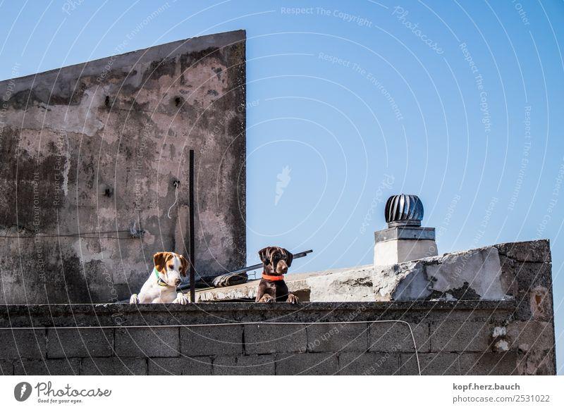 Auf der Mauer, auf der Lauer Altstadt Haus Dach Hund 2 Tier beobachten Denken Blick Coolness Zusammensein lustig Neugier oben Stadt wild Tierliebe Erwartung