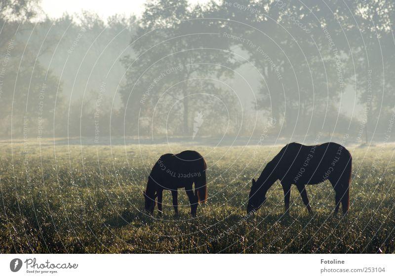 Morgenidylle Umwelt Natur Pflanze Tier Herbst Nebel Baum Gras Wiese Pferd Coolness kalt natürlich grau schwarz Weide Farbfoto Gedeckte Farben Außenaufnahme